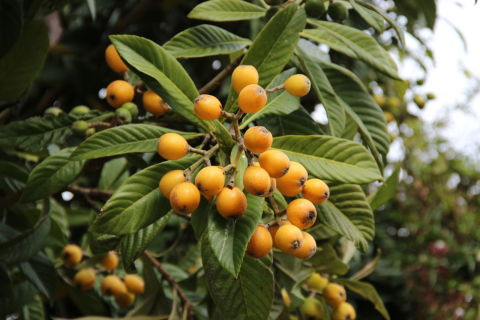 Small orange round fruit on tree with long green grooved leaves