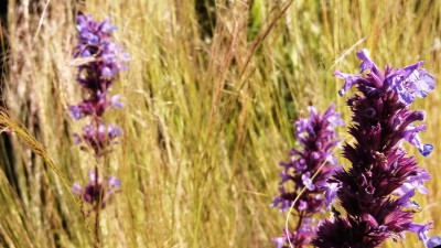 Yellow grasses, purple flowers